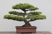 Bonsai Pflege: 10 Tipps für Anfänger