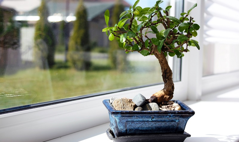 Der Bonsai steht hell am Fenster.