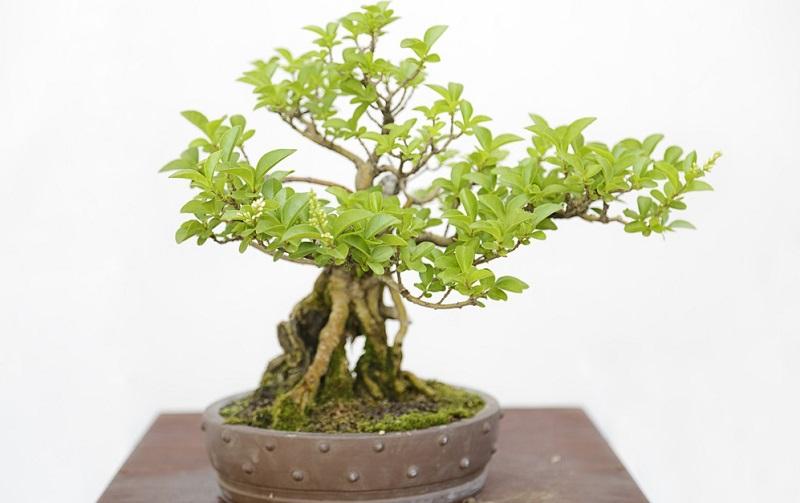 Der chinesische Liguster Bonsai ist eine beliebte Bonsai Baumart. (#01)