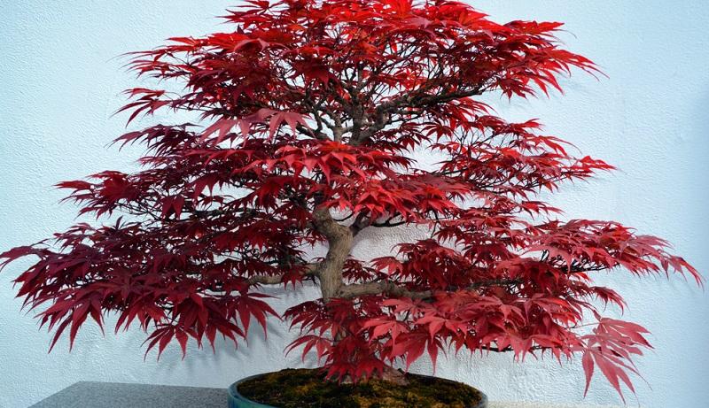 Bonsai schneiden: Baumsorten, wie der japanische Ahorn gehören zu den Bonsai Arten, die einen Blattschnitt benötigen.