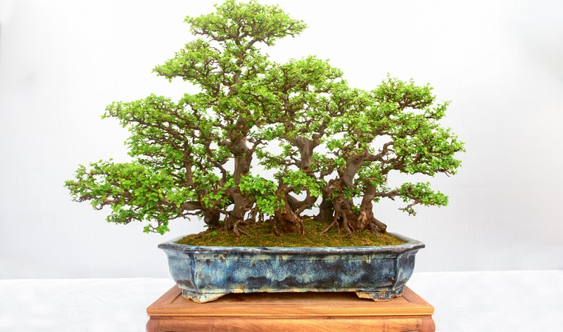 Die Bonsaigestaltung in der Wald Form ist eine uralte Bonsaikunst.