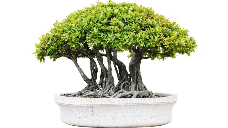 Bonsai in Floßform schneiden: Mehrere Stämme wachsen aus einem umgestürzten Baum heraus.