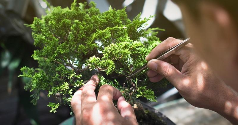 Bonsai schneiden: Beim Nadelbaum wird mit der Pinzette statt der Schere gearbeitet.