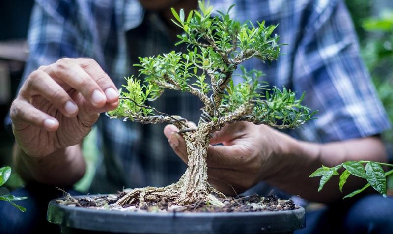 Um einen Bonsai zu drahten, Stamm und Äste des Baumes mit Kupfer- oder Aluminiumdraht umwickeln.