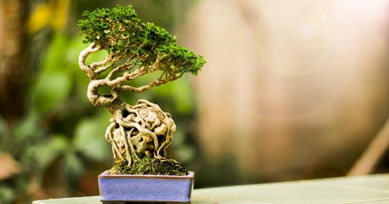 Bei der Ishitsuki Gestaltungsform wächst der Bonsai über einem Stein.