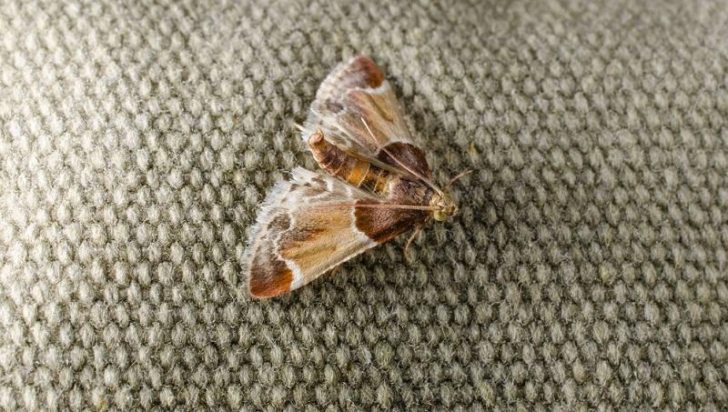 : Der Mehlzünsler ist mit seinem markanten hochgestellten Hinterleib und dem hellen Mittelbereich auf den Flügeln gut zu erkennen.