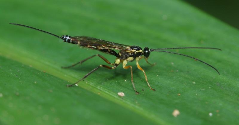 Der Legestachel der Schlupfwespe ist sehr lang und sticht auch direkt durch Insektenpanzer hindurch.