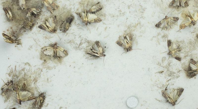 Findet man so viele Mehlmotten, ist der Befall schon weit fortgeschritten.
