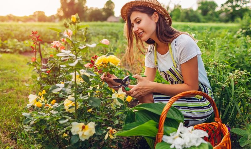Eine Gartenarbeit, die auch während des Sommers anfällt, nimmt nun ihren Beginn. Das Rückschneiden der Rosen ist fällig, damit sie im Sommer mit herrlichen Blüten verzaubern. ( Foto: Shutterstock-_Mariia Boiko )
